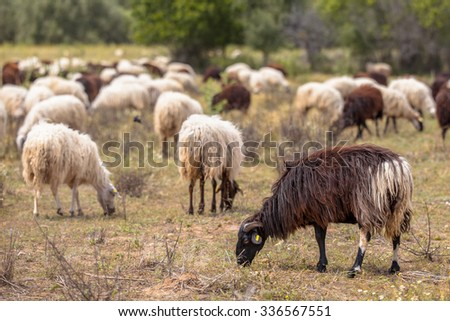 Close up of Herd of black and white sheep grazing in dehesa like olive grove on Lesbos island, Greece - stock photo