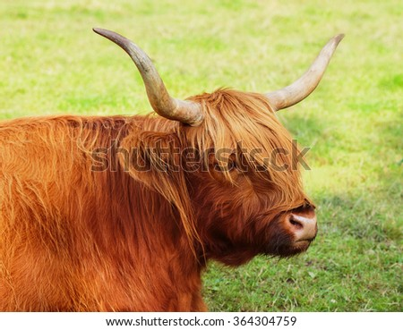Close up of highland cow, Scotland. - stock photo
