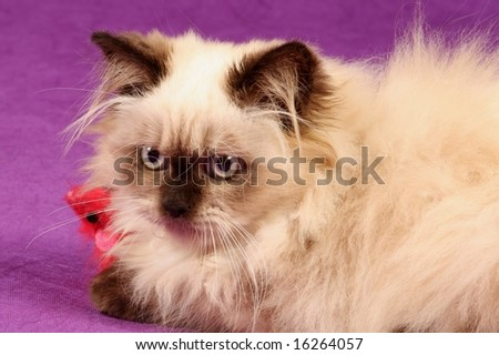 close up of himalayan persian kitten against purple background with red toy mouse - stock photo