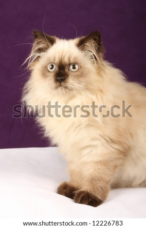 close up of himalayan persion kitten against purple and white background - stock photo