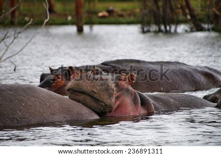 Close-up of hippo in the water of Laka Naivasha, Kenya - stock photo