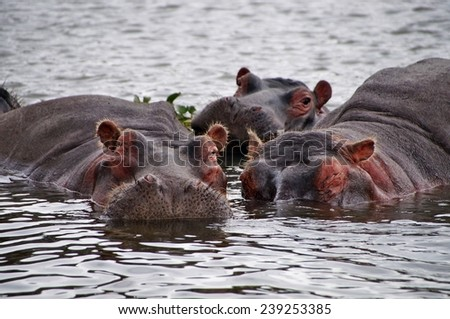 Close-up of hippos in the water of Laka Naivasha, Kenya