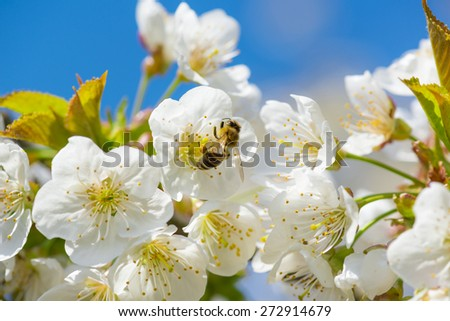 Close up of honey bee in cherry blossoms against blue sky - stock photo