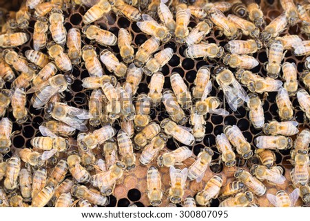 Close up of honey bees on brood comb. Three large Italian drone honeybees surrounded by smaller worker bees on brood frame. - stock photo