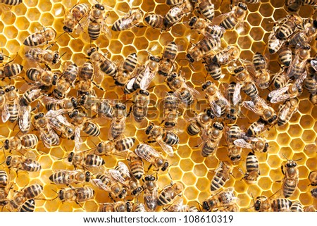 Close up of honeybees working on honeycomb - stock photo