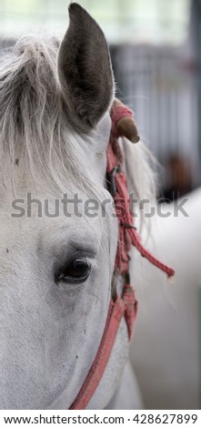 Close up of horse eye. Frontal view. Lipizzaner horse looking at camera - stock photo