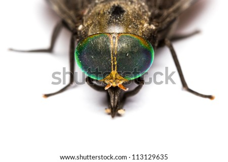 Close up of horse fly on white background - stock photo