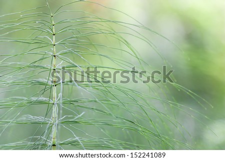 close up of horsetail stem on a green background