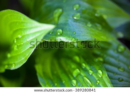 Close up of hosta green leaves with dew drops - stock photo
