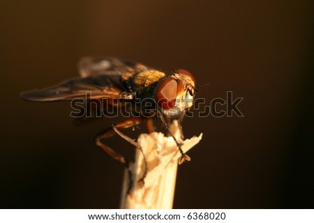 Close-up of hoverfly Phasia hemiptera