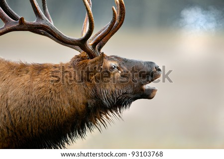 Close up of huge male elk bugling in cold fall air - stock photo