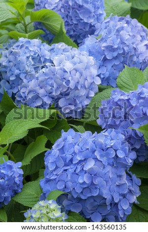 Close-up of Hydrangea flowers - stock photo