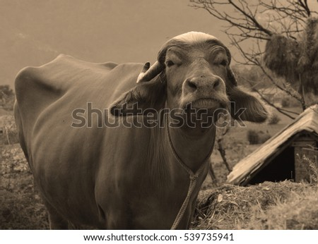 close up of Indian buffalo in sepia