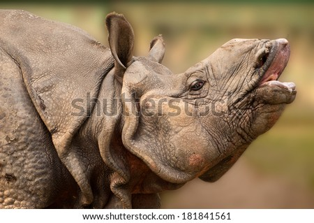 Close up of Indian one horned Rhinoceros with mouth open - stock photo