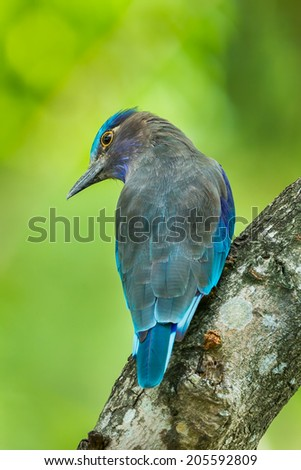 Close up of Indian roller(Coracias benghalensis) turn her head in nature of Thailand - stock photo