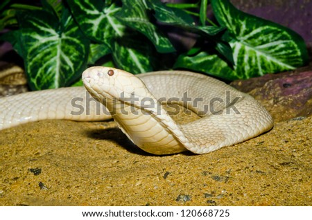 Close up of Indochinese or Monocellate Cobra snake, Thailand. - stock photo