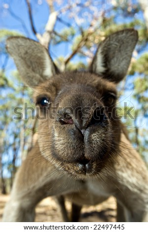Close up of inquisitive Kangaroo