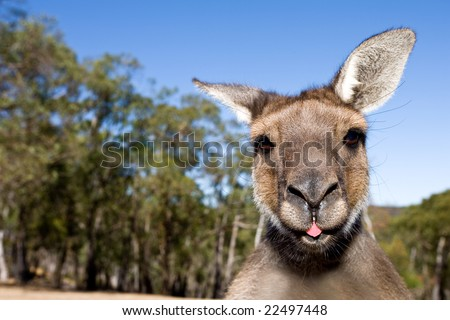 Close up of inquisitive Kangaroo poking his tongue out