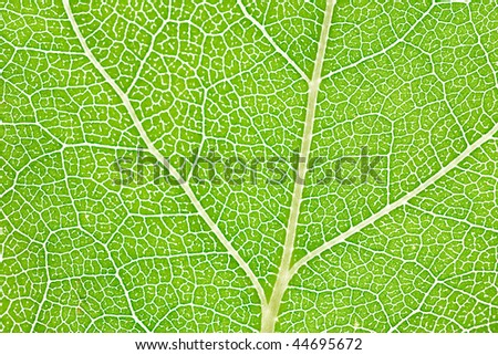Close up of intricate vein patterns on green leaf - stock photo