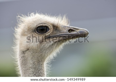 Close up of isolated emu head