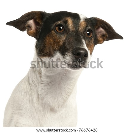 Close-up of Jack Russell Terrier, 1 and a half years old, in front of white background
