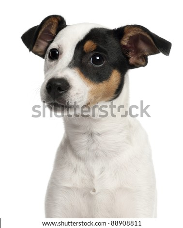 Close-up of Jack Russell Terrier puppy, 5 months old, in front of white background