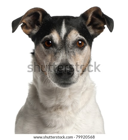 Close-up of Jack Russell Terrier, 12 years old, in front of white background - stock photo