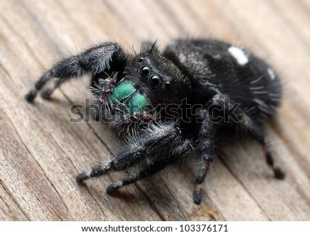 Close-up of jumping spider (Phidippus audax) - stock photo
