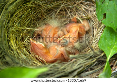 close-up of just hatched Robin chicks in nest - stock photo