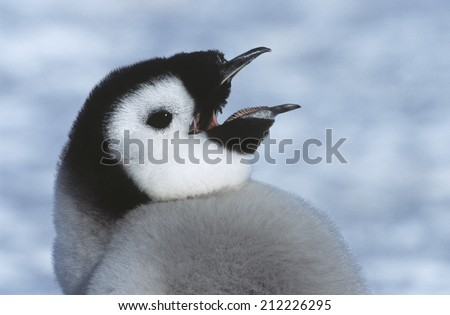 Close-up of Juvenile Emperor Penguin with open beak - stock photo