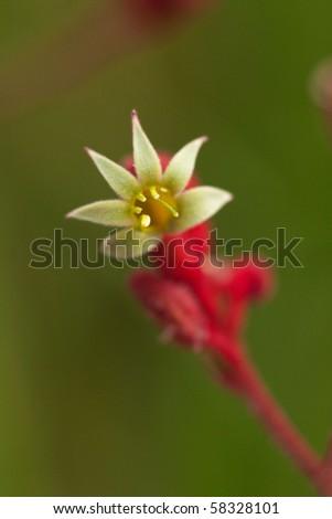 close up of Kangaroo Paw flower - stock photo