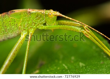 Close up of Katydid