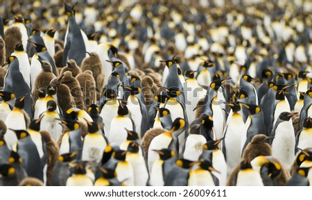 Close-up of King penguin colony - South Georgia - stock photo
