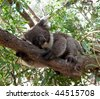 Close up of Koala Bear in Australian Eucalyptus tree - stock photo