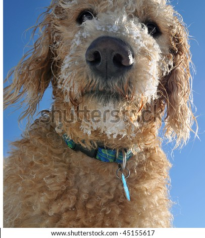 Close-up of Labradoodle Puppy with snow on face - stock photo