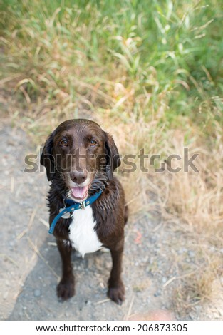 Close Up of Labrador and German Pointer Mix Dog at Park - stock photo