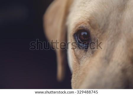 Close up of labrador retriever dog eye, selective focus with shallow depth of field - stock photo