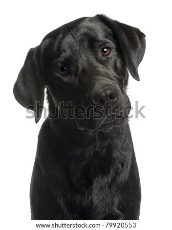 Close-up of Labrador Retriever, 10 months old, in front of white background - stock photo