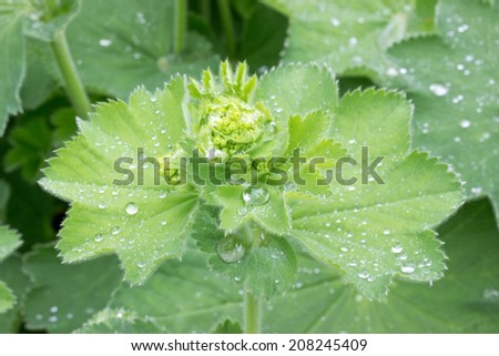 Close up of lady's mantle in a herb garden - stock photo