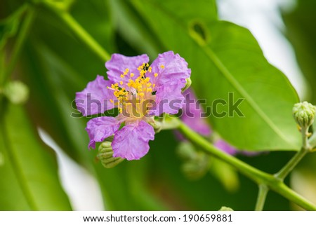 Close up of Lagerstroemia speciosa flower, Thailand
