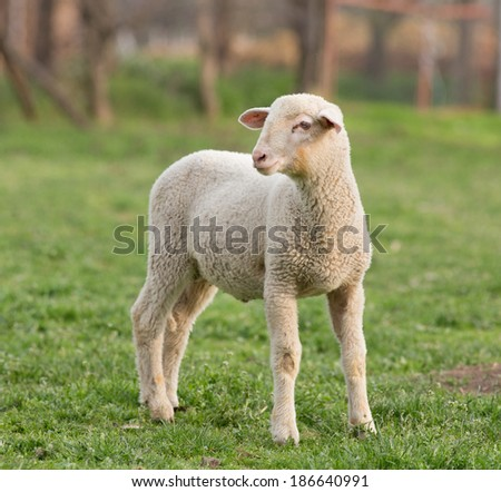 Close up of lamb standing on grass on farmland - stock photo