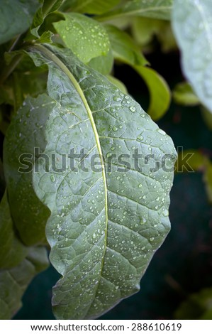 Close up of large green tobacco leaf covered with rain drops at later afternoon. - stock photo