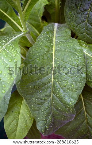 Close up of large green tobacco leaves covered with rain drops at later afternoon. - stock photo