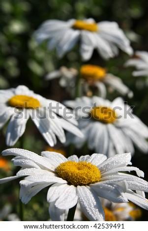 Close-up of large white ox-eye daisies (Leucanthemum vulgare). Shallow DOF - stock photo