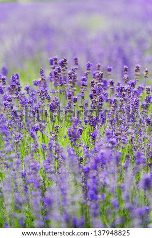 Close-up of lavender - stock photo