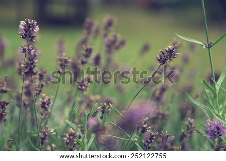 Close up of lavender bush outdoors in the garden - stock photo