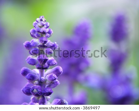 Close-up of lavender flower on a summer day in the garden - stock photo