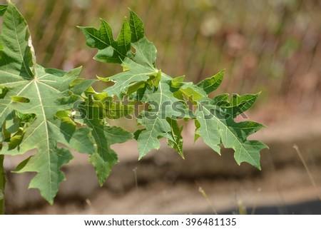 Close up of leaves of a Papaya tree - stock photo
