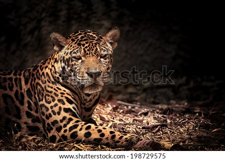 Close up of leopard with intense eyes - stock photo