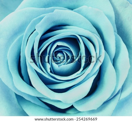 Close up of Light blue rose petals. - stock photo